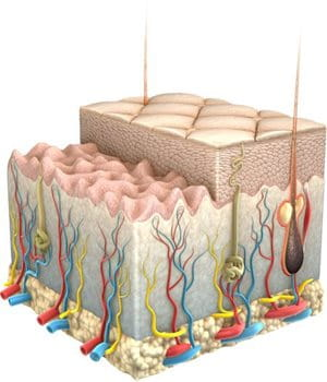 Skin Structure of ageing skin